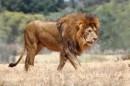 alexander pappas: LE LION (COLECTIONS ANIMAUX)