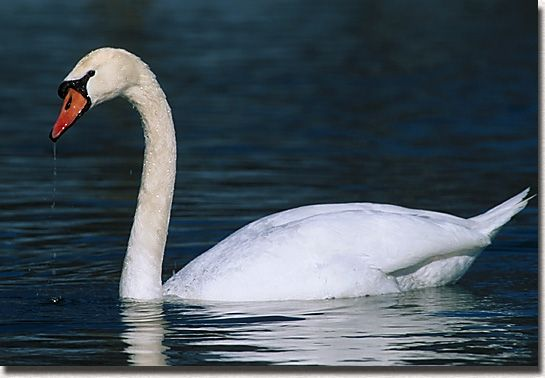 Saint-Saens, Camille: The swan (The Carnival of the Animals)