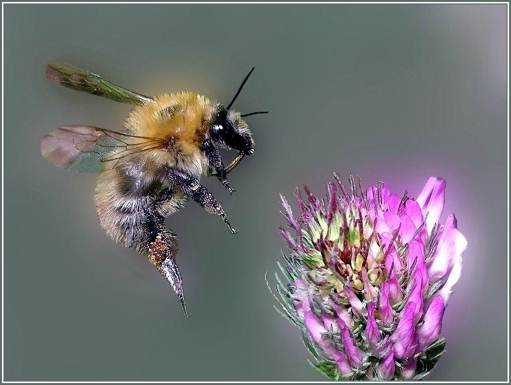 Rimsky-Korsakov, Nikolai: Flight of the Bumblebee