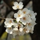 Christian Faivre: Sakura
