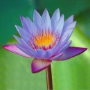 Christian, Faivre: Le lotus bleu