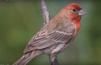 Gibson, Gorden: Bird Calls