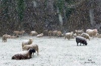 Traditional: sheep under the snow