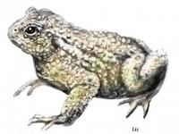 Sidebotham, Elizabeth: A Toad's Dream